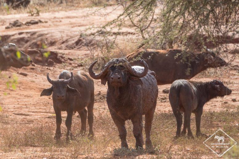 Bufles, safari à Tsavo Ouest
