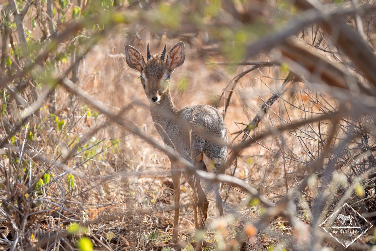 Dik-dik,safari à Tsavo Ouest
