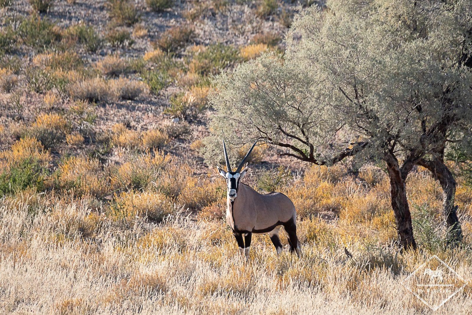 parc transfrontalier Kgalagadi - oryx