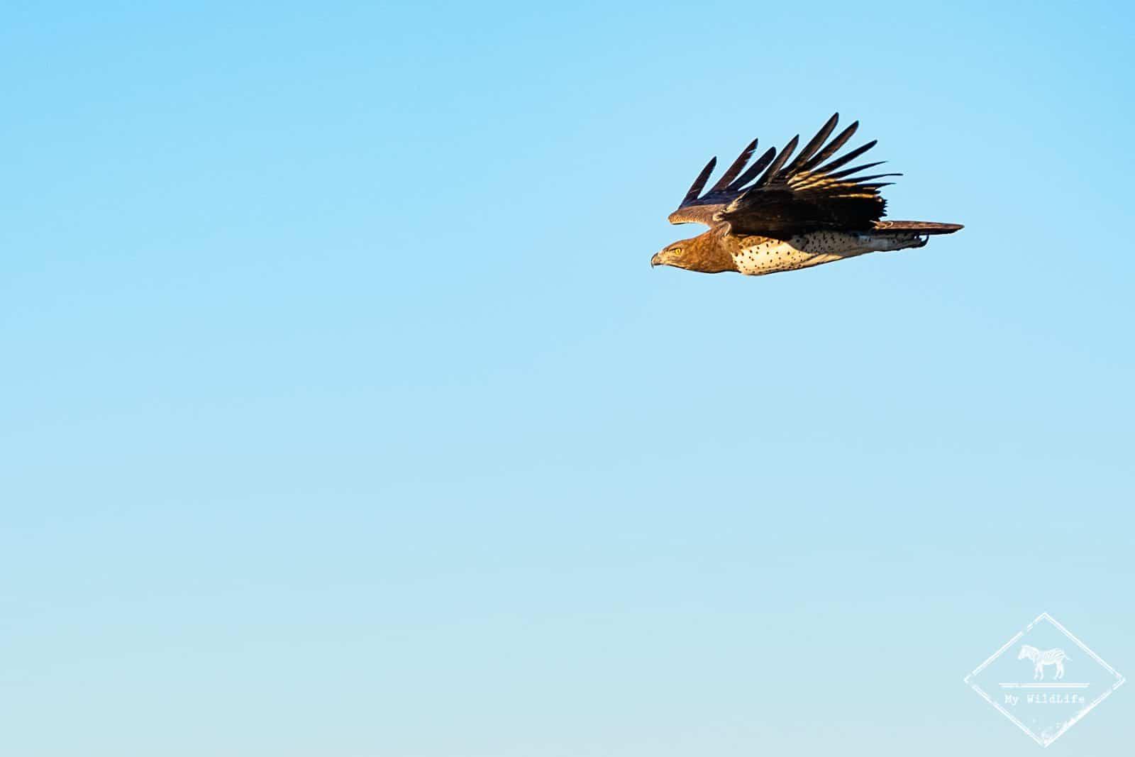 parc transfrontalier Kgalagadi - aigle martial