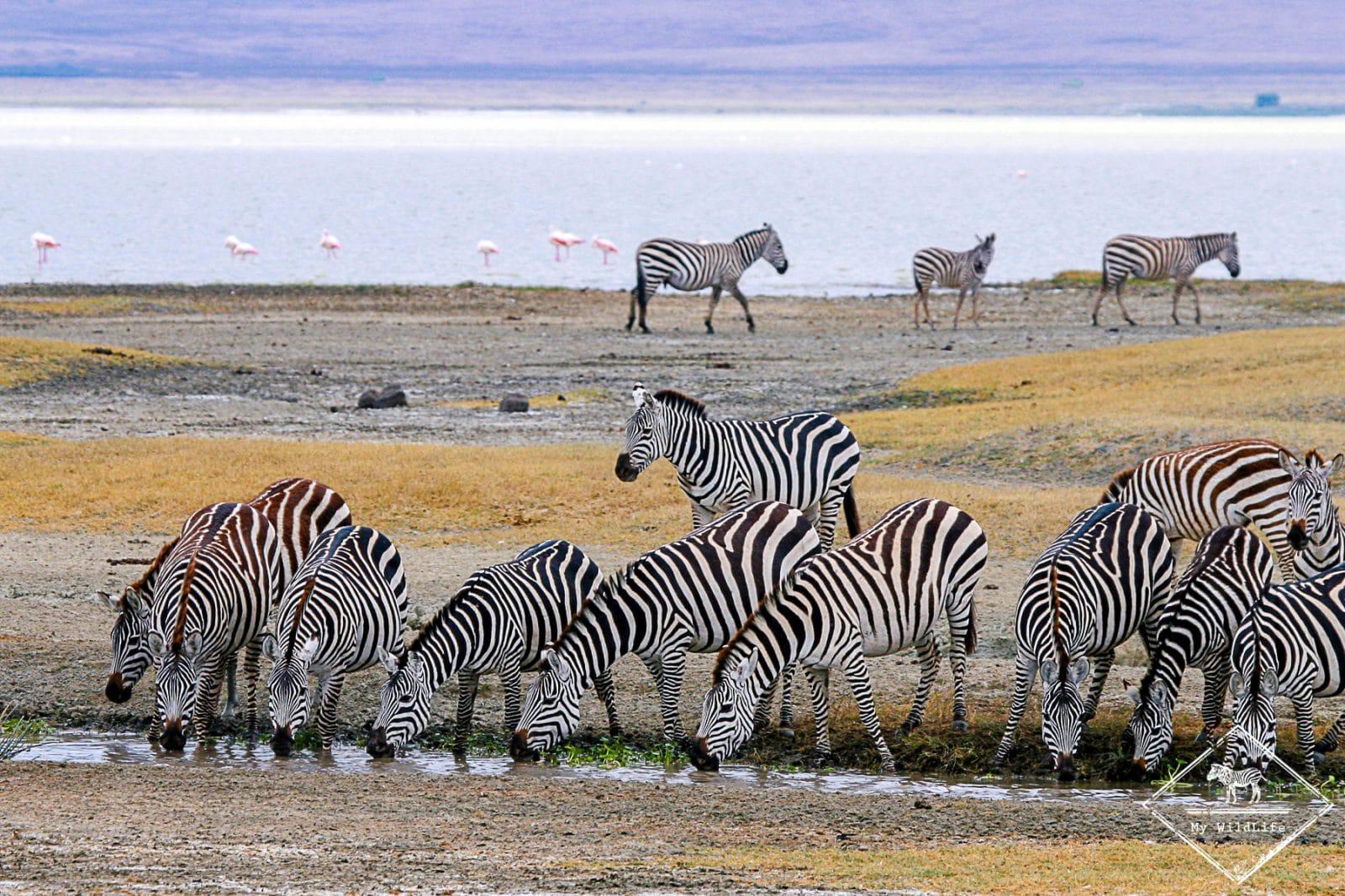 Zèbres de Grant, cratère Ngorongoro