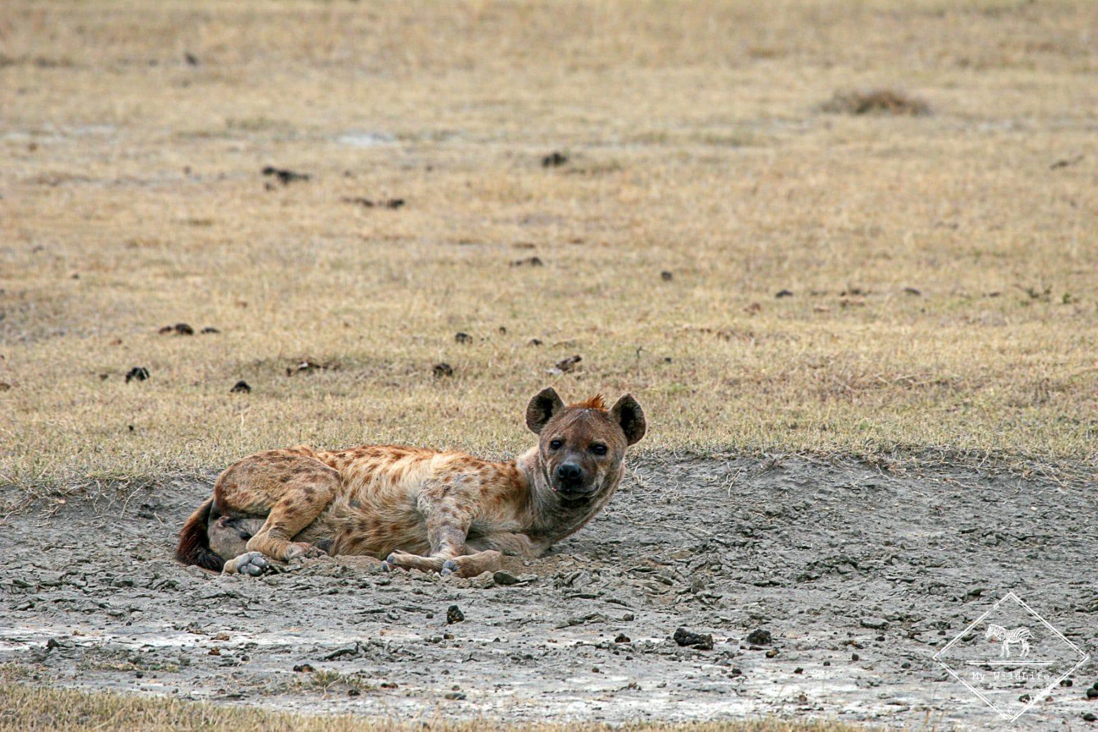 Hyène tachetée, cratère Ngorongoro