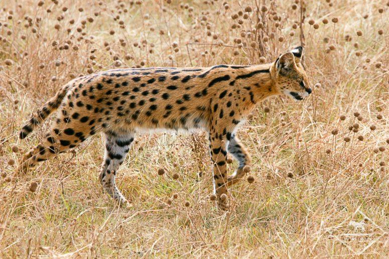 Serval, cratère Ngorongoro