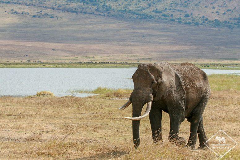 Eléphant, cratère Ngorongoro