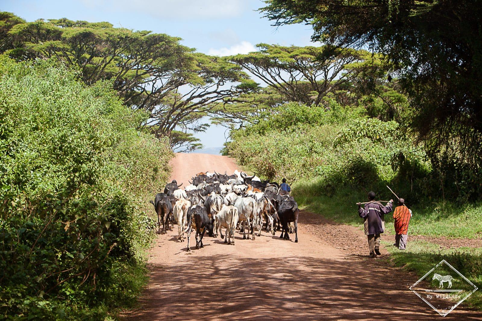 Bergers Masaïs, cratère Ngorongoro
