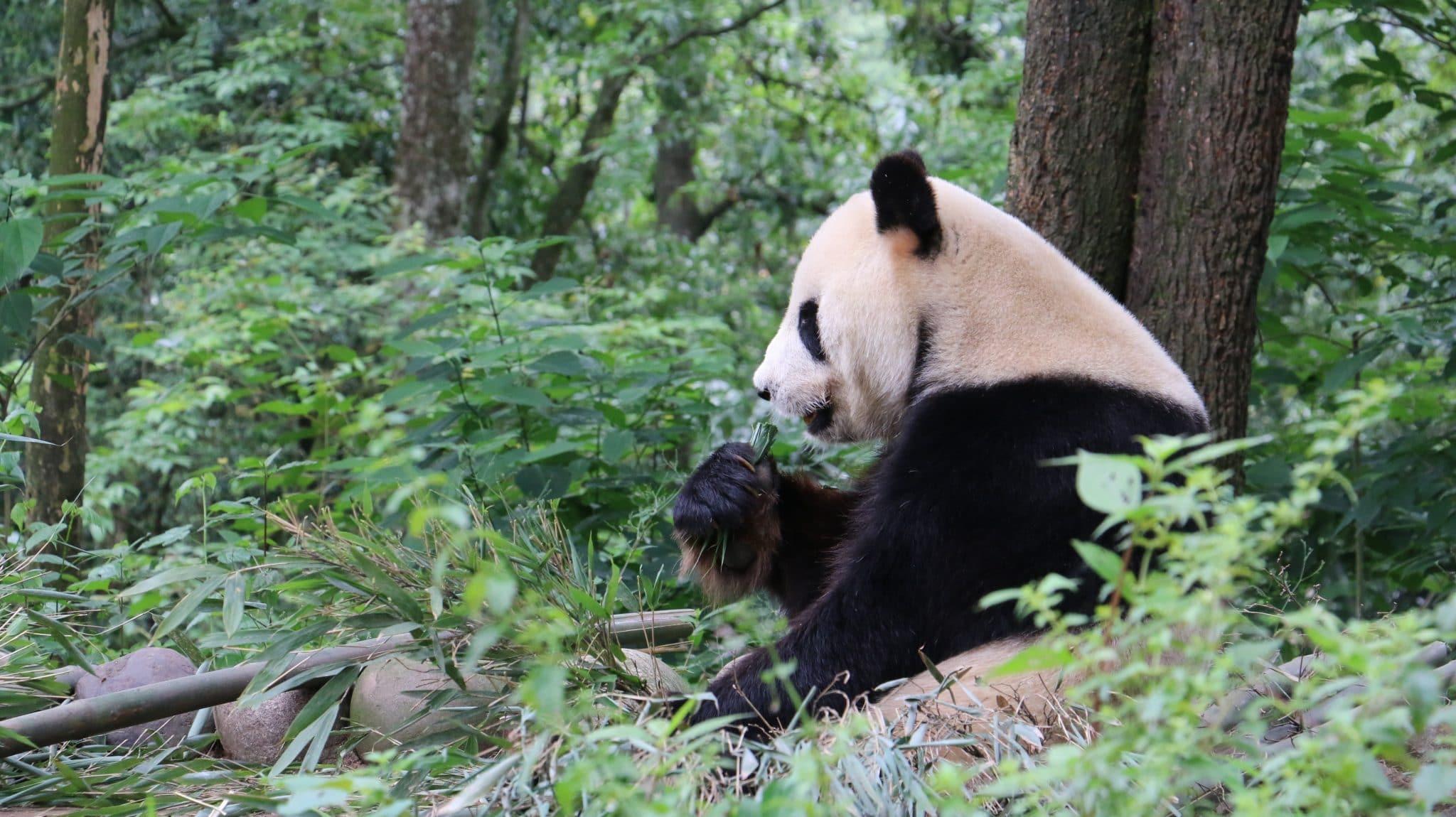 Panda Love : dans l'intimité des pandas