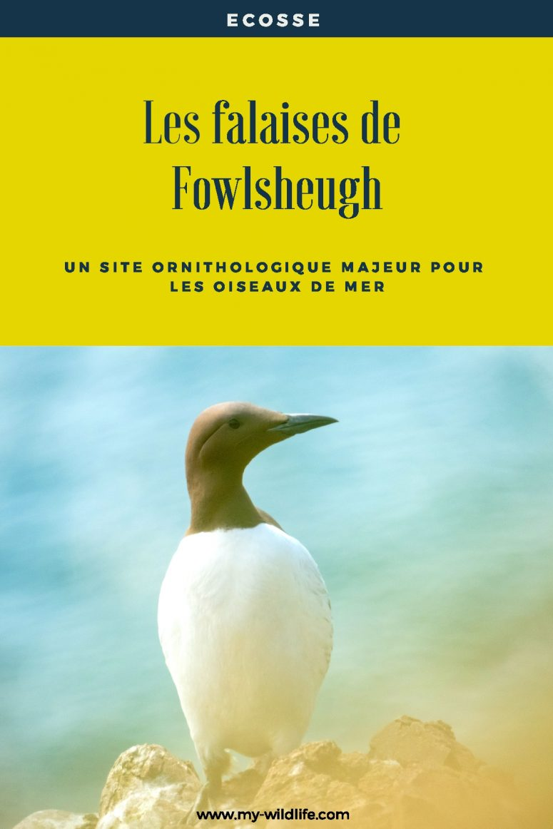 falaises Fowlsheugh