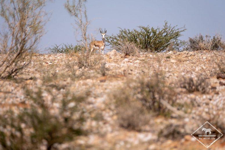 Springbok, parc national des Chutes d'Augrabies