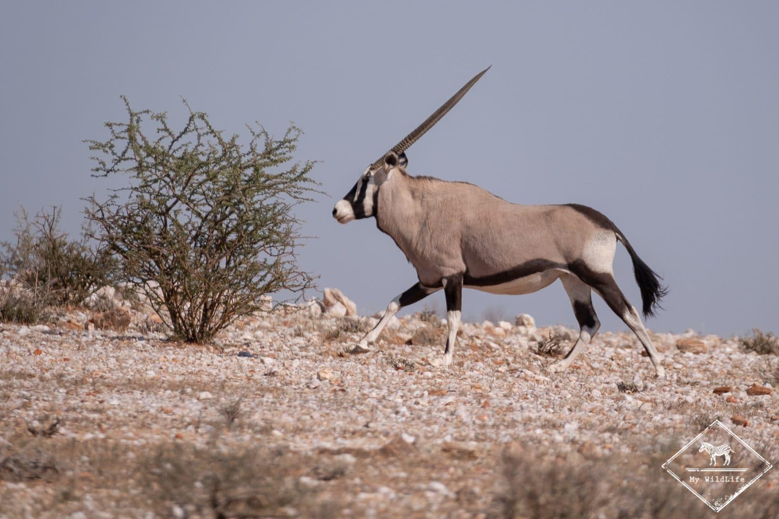Oryx, parc national des Chutes d'Augrabies