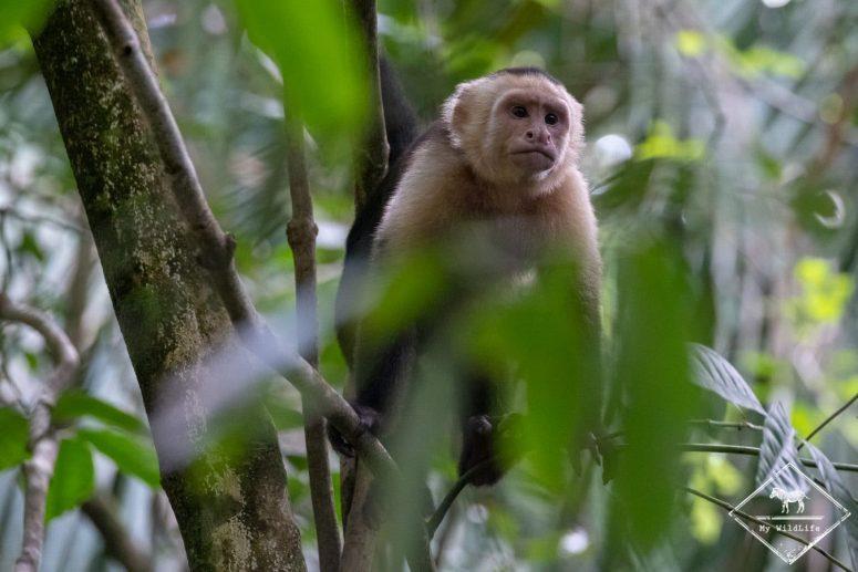Capucin à tête blanche, Parc National Manuel Antonio