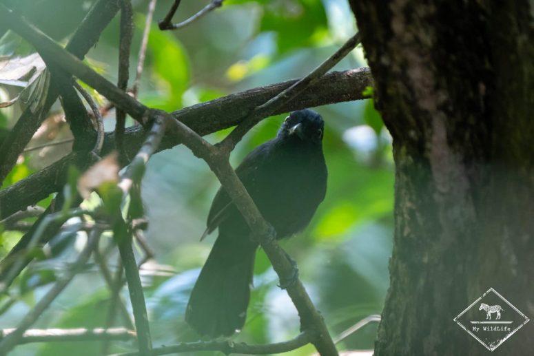 Quiscale chanteur, Parc national Manuel Antonio