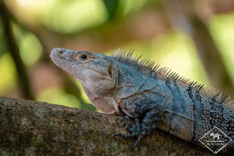 Iguane, parc national Manuel Antonio