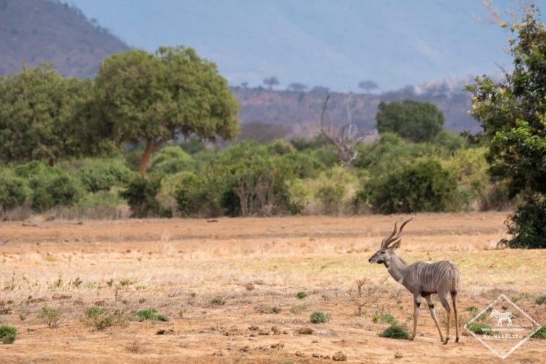 Petit koudou, parc national Tsavo Est