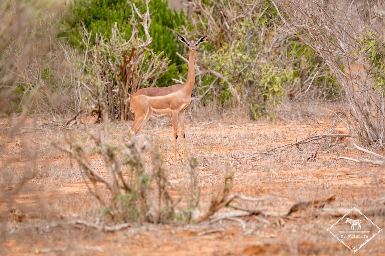 gazelle girafe, parc national Tsavo Est