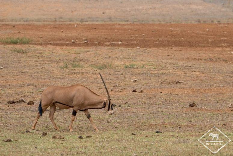 Oryx à oreilles frangées, Parc national Tsavo Est