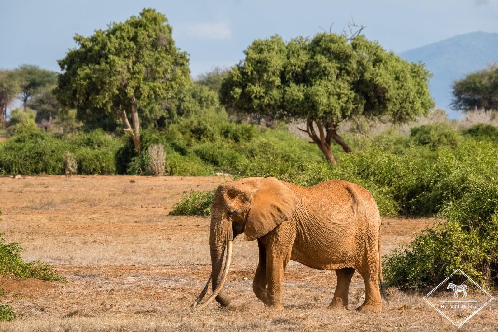 Elephant, parc national Tsavo Est