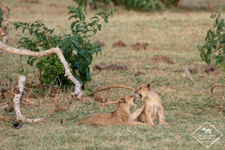 lionceaux, parc national Tsavo East