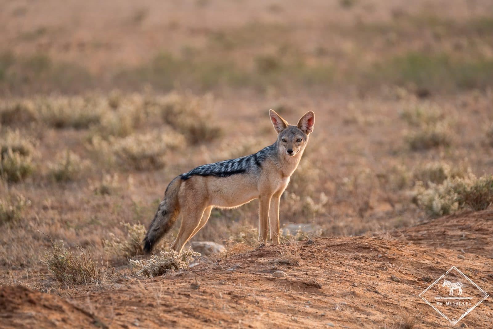 Chacal à chabraque, parc national Tsavo Est