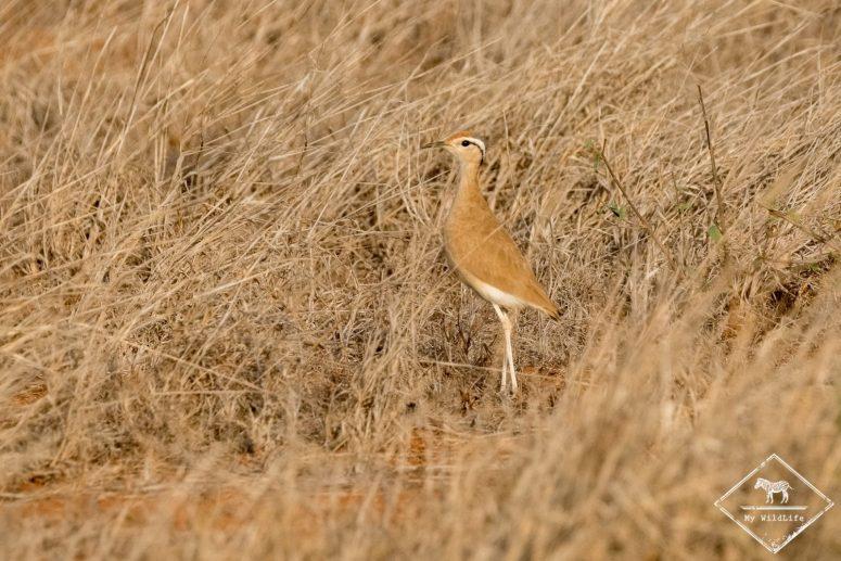 courvite de Somalie, Parc national Tsavo Est