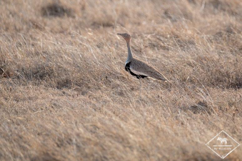 outarde d'Oustalet, Parc national Tsavo Est