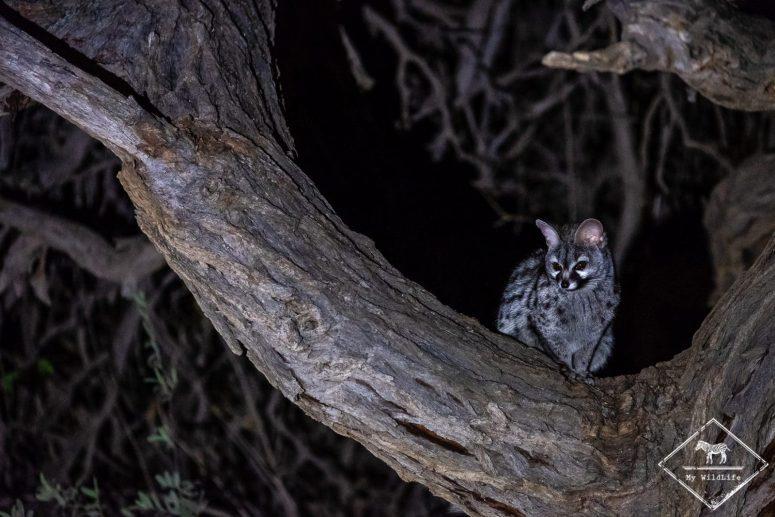 Genette commune, Witsand Nature reserve, Afrique du Sud