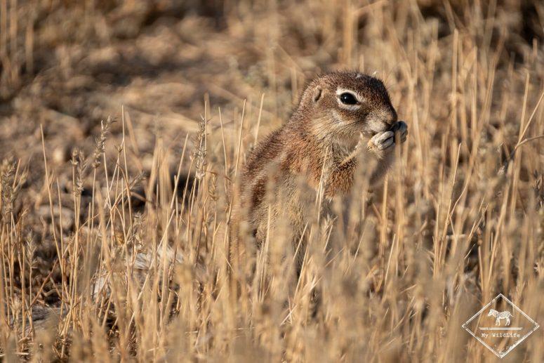 Ecureuil terrestre, Witsand Nature Reserve