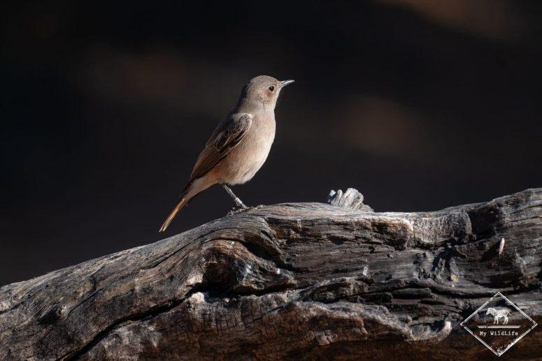 Traquet aile-en-faux, Witsand Nature reserve