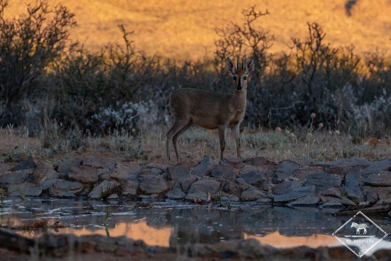 Céphalophe de Grimm, Witsand Nature reserve, Afrique du Sud