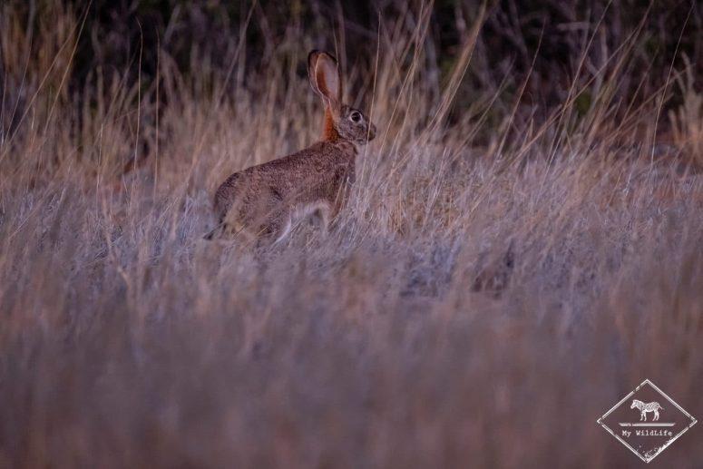 lièvre, Witsand Nature reserve, Afrique du Sud