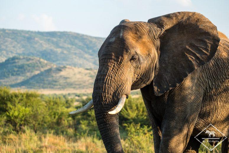 éléphant, parc national Pilanesberg