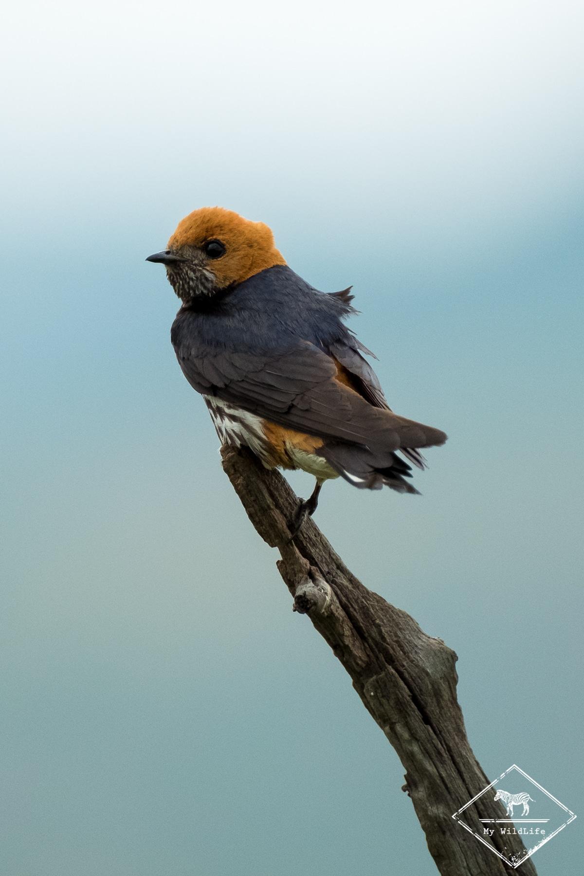 Hirondelle à tête rousse, parc national Pilanesberg