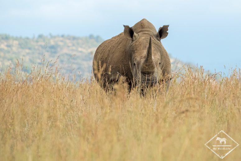 Rhinocéros blanc, Pilanesberg