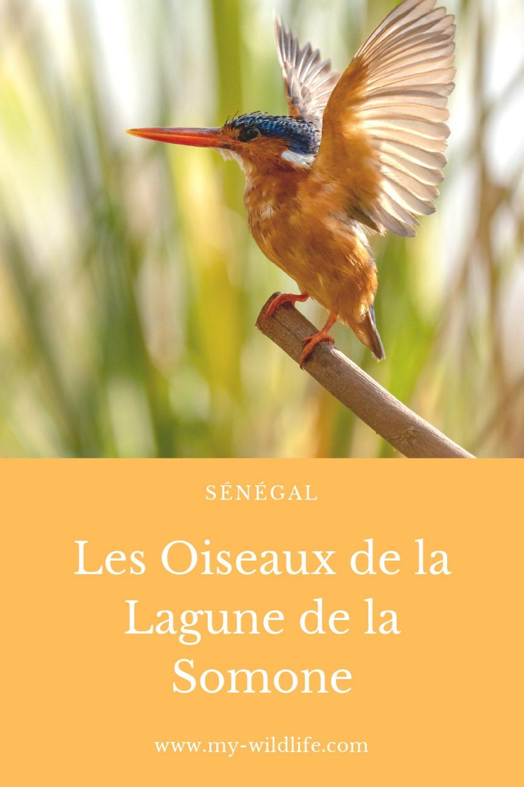 Les oiseaux de la lagune de la Somone