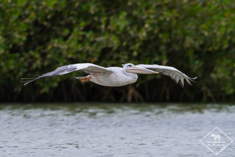 Pélican gris, Lagune de la Somone