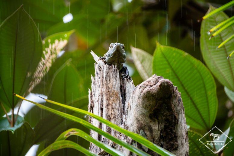 Iguane, parc national Marino Ballena