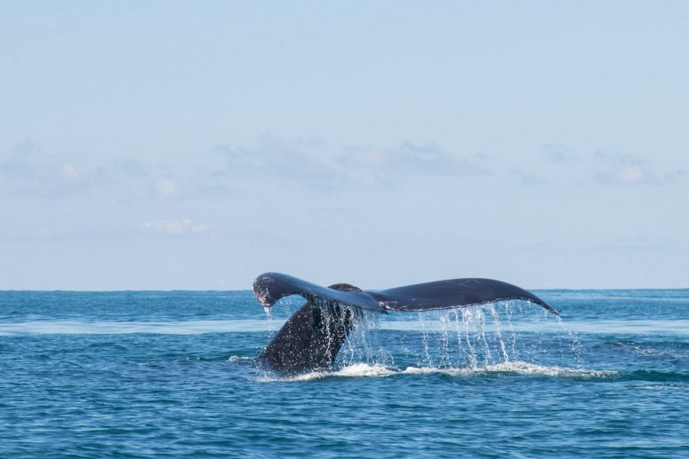 baleine à bosse, parc national Marino Ballena