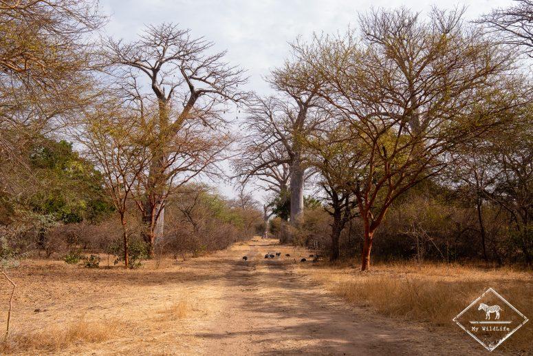 Baobabs, Réserve de Bandia