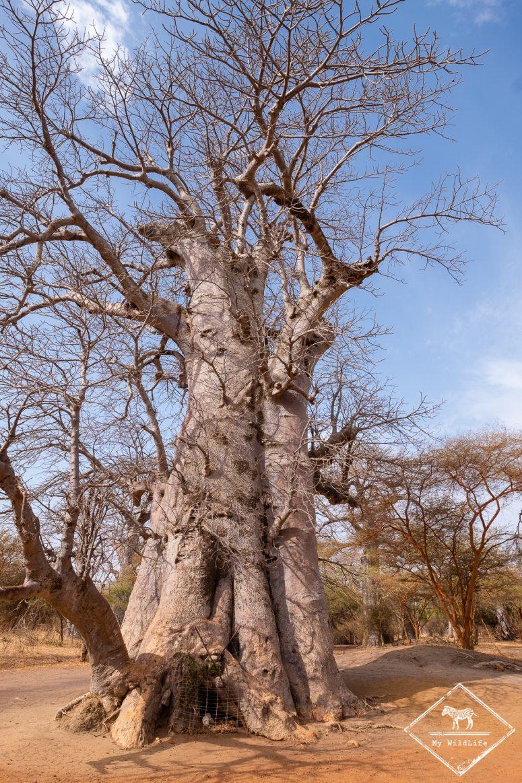 Baobab, Réserve de Bandia