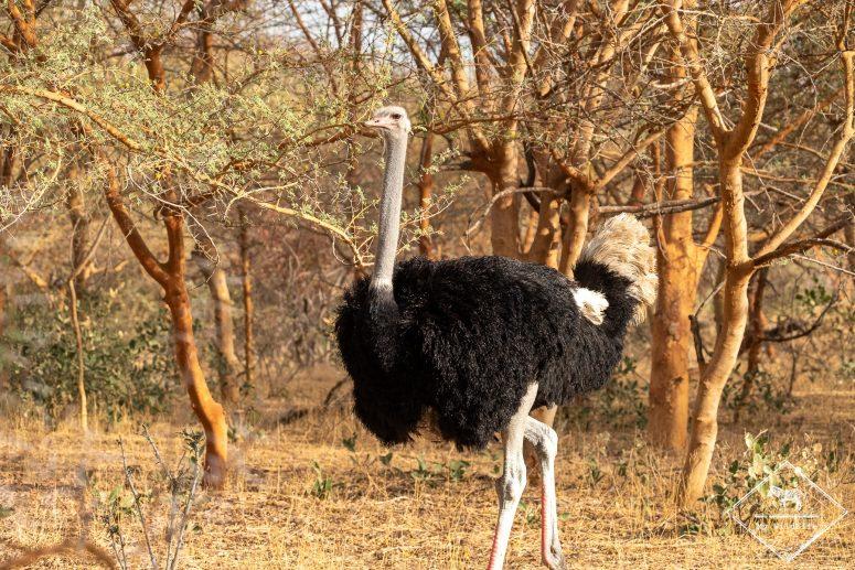 Autruche, réserve de Bandia