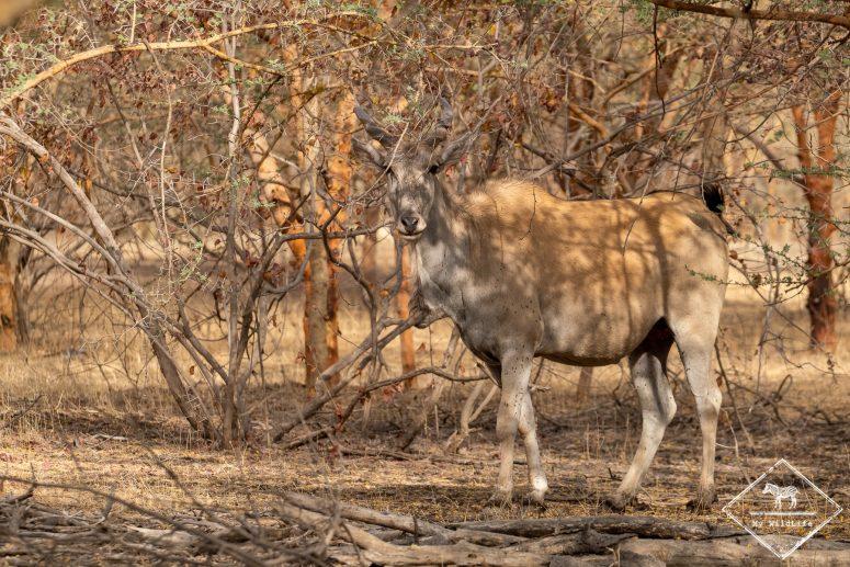 Eland du Cap, réserve de Bandia