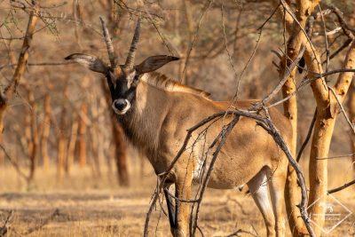 Antilope Rouanne, Réserve de Bandia