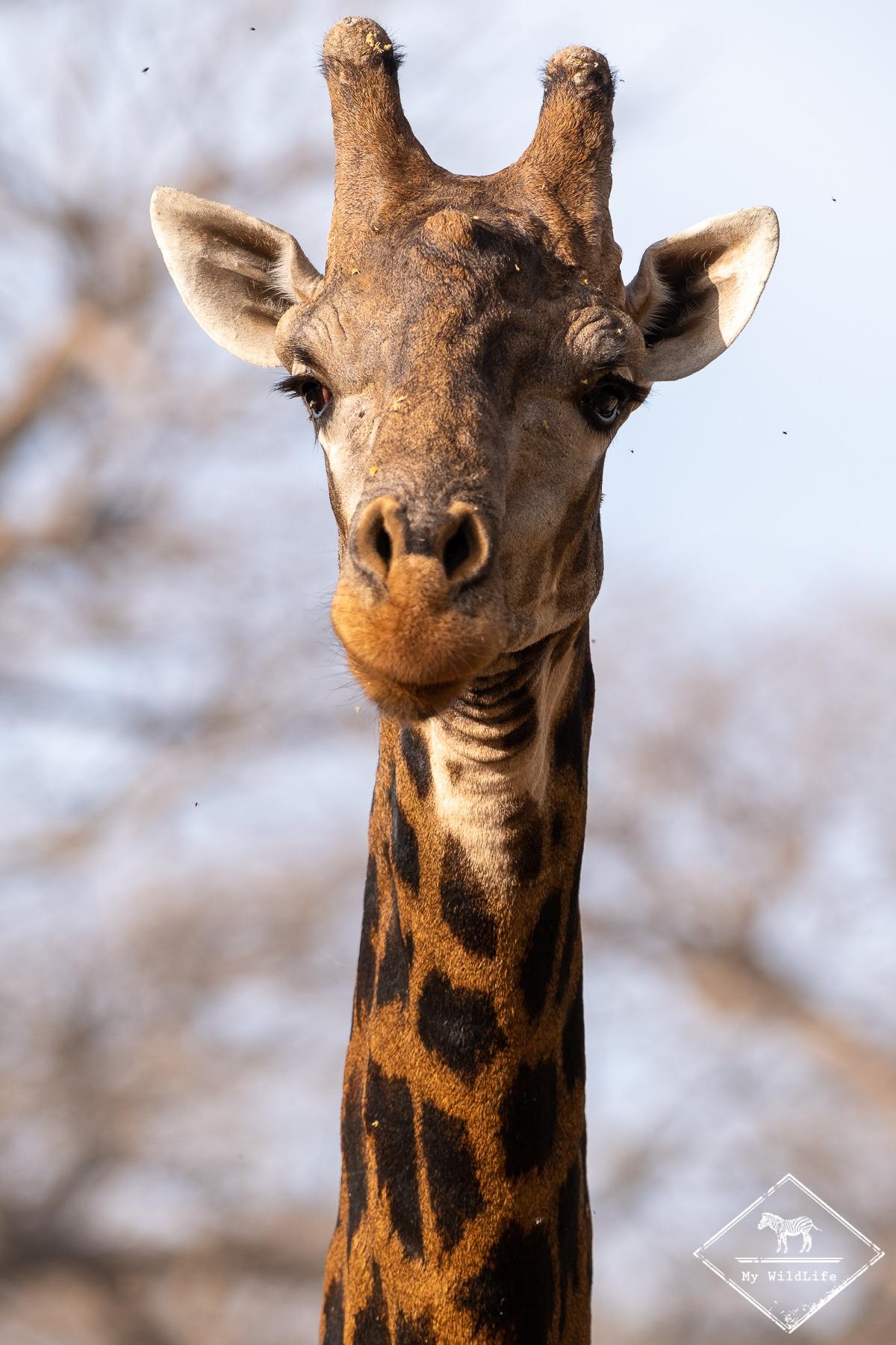 Girafe, Réserve de Bandia