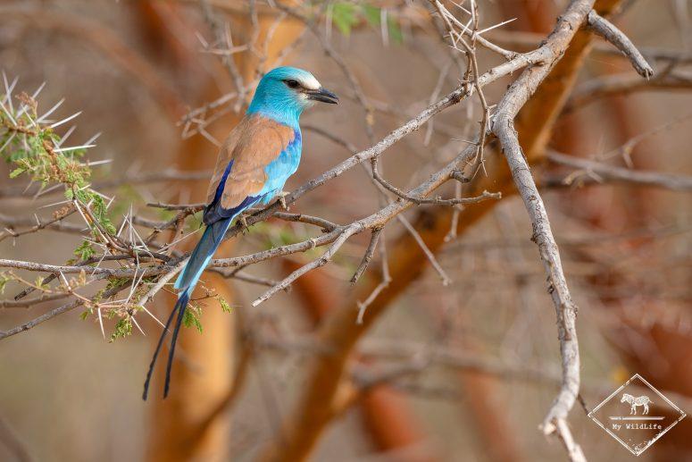 Rollier d'Abyssinie, Réserve de Bandia