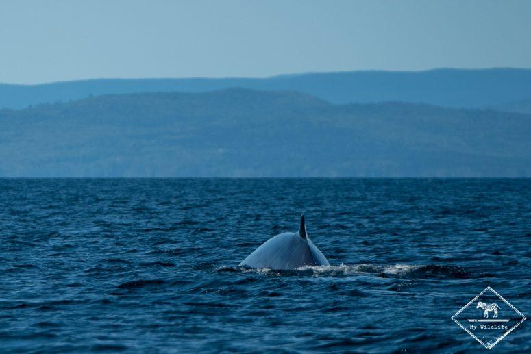 baleine, baie de Gaspé