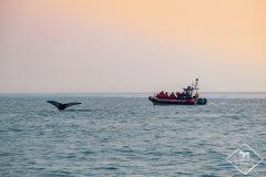 Voir les baleines au Québec
