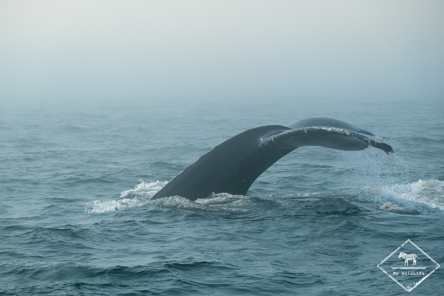 Rorqual à bosse, baleines au Québec