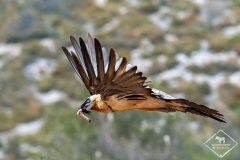 Photographier les vautours dans la Réserve Nationale de Boumort