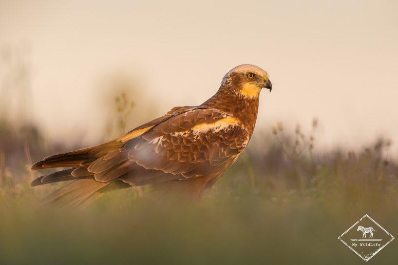 Busard des roseaux (femelles), Affût ornithologique en Catalogne.