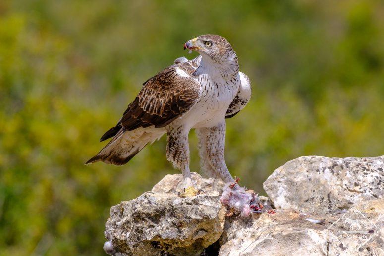 Aigle de Bonelli, Affût ornithologique en Catalogne