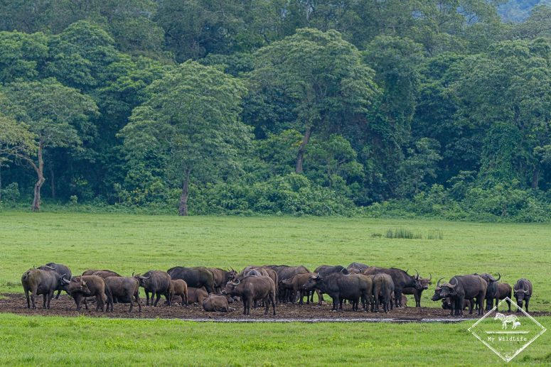 Buffles, parc national Arusha